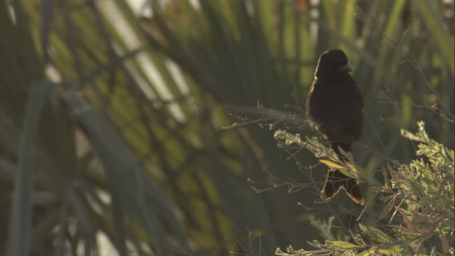 a juvenile drongo perches on a tree branch. - drongo stock videos and b-roll footage