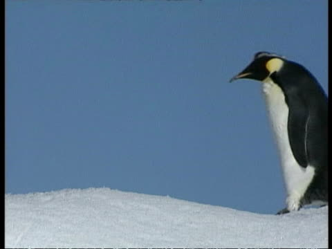 ms juvenile emperor penguin, aptenodytes forsteri, waddling over ice, antarctica - waddling stock videos and b-roll footage