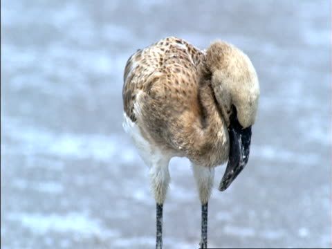 juvenile flamingo stands exhausted on dry salt flat, botswana  - flamingo chick stock videos & royalty-free footage