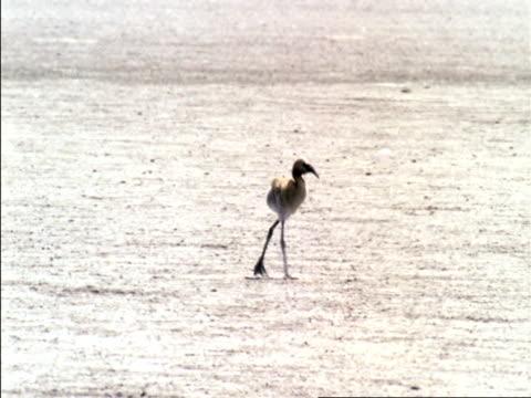juvenile flamingo waddles over dry salt flat, botswana  - flamingo chick stock videos & royalty-free footage