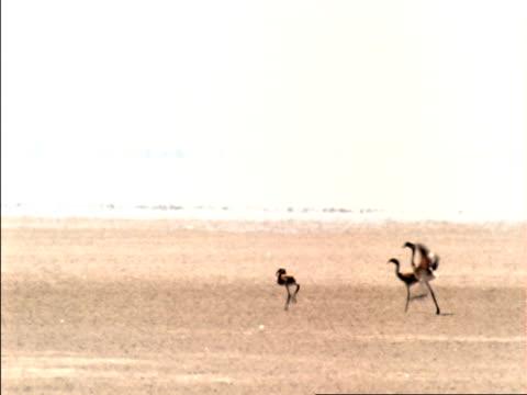 Juvenile flamingo waddles over salt flats, Botswana