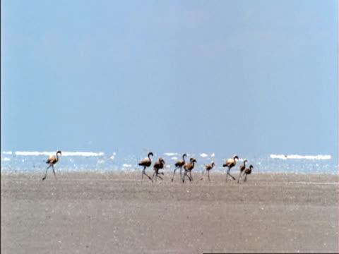 juvenile flamingos waddle over salt flats, botswana  - flamingo chick stock videos & royalty-free footage