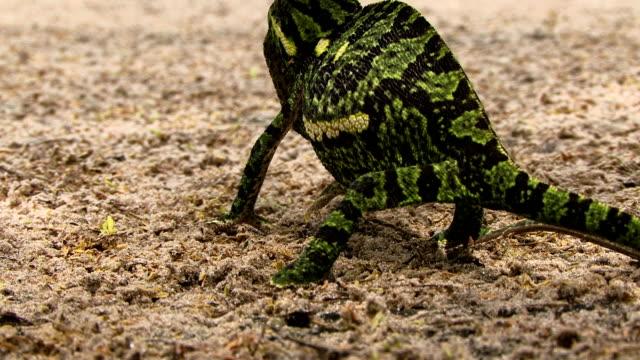 ジュベナイルフラップ necked chameleon - オカバンゴデルタ点の映像素材/bロール