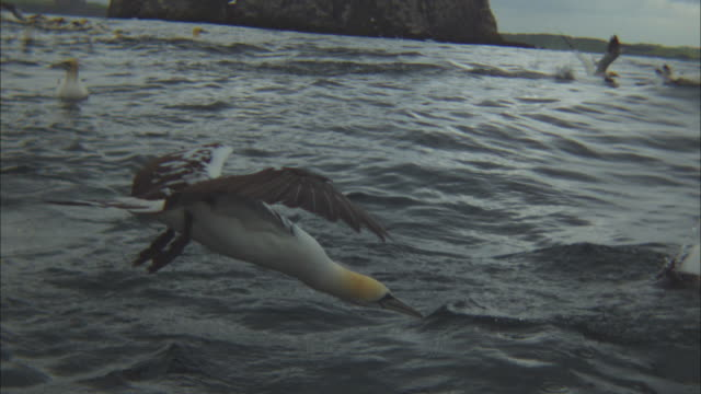 slomo ms juvenile gannet dives in profile - gannet stock videos & royalty-free footage