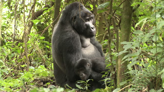 A juvenile gorilla leans against male silverback. Available in HD.