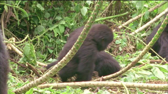 Juvenile gorillas chase each other around Giant Lobelia stalk Available in HD.