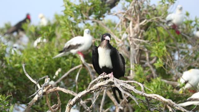 vídeos y material grabado en eventos de stock de juvenile great frigatebird (fregata minor) - alcatraz patirrojo