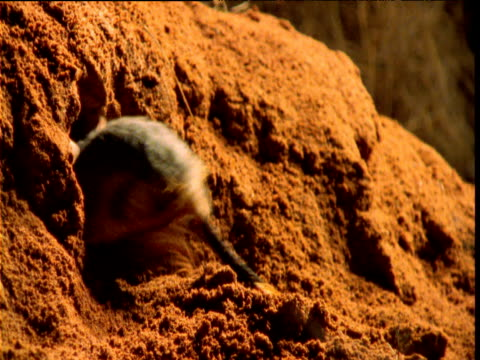 Juvenile greater bilby enters burrow in outback at night, Western Australia