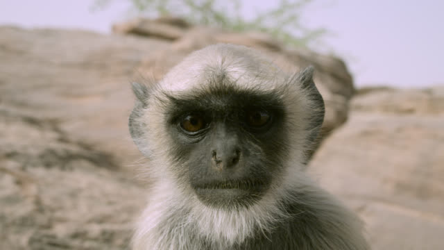 juvenile grey langur monkey (semnopithecus dussumieri) peers into camera, jodhpur, india - young animal video stock e b–roll