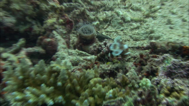 juvenile harlequin sweetlips (plectorhinchus chaetodonoides) feeds on coral reef, manado, indonesia - sweetlips stock videos & royalty-free footage
