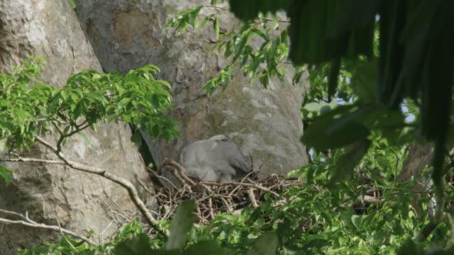 stockvideo's en b-roll-footage met juvenile harpy eagle on a nest in tree - harpij arend