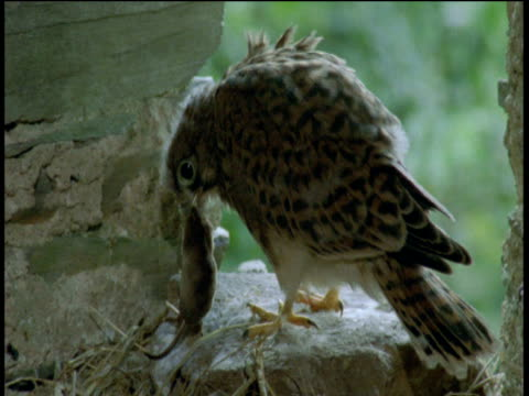 juvenile kestrel sits at window of barn, picks up shrew and pecks at it then runs out of shot holding shrew, devon - falcon bird stock videos & royalty-free footage