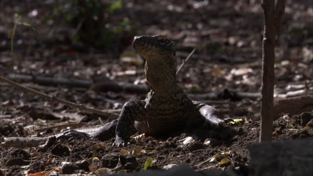 juvenile komodo dragon looks around. - insel komodo stock-videos und b-roll-filmmaterial