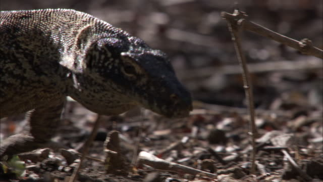 juvenile komodo dragon walks over ground. - young animal stock videos & royalty-free footage