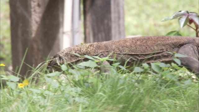 juvenile komodo dragon walks through foliage and enters shelter.  - young animal stock videos & royalty-free footage
