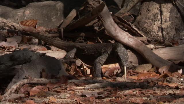 juvenile komodo dragon walks through undergrowth and enters burrow. - young animal stock videos & royalty-free footage