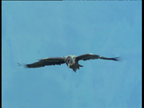 Juvenile Lammergeier is mobbed and dive bombed by raven as it soars