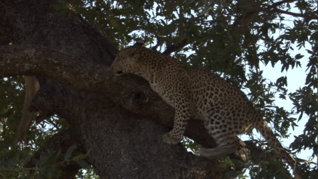 a juvenile leopard clambers down a tree. - claw stock videos and b-roll footage