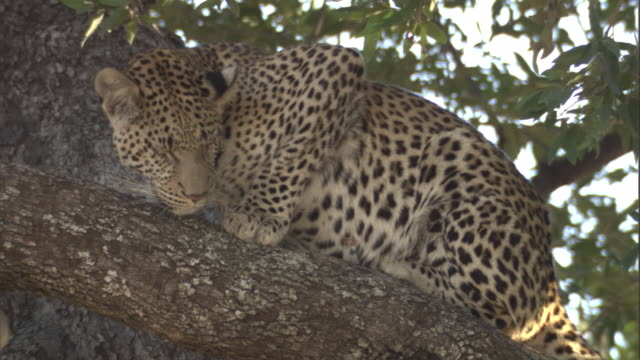 A juvenile leopard sits in a tree.