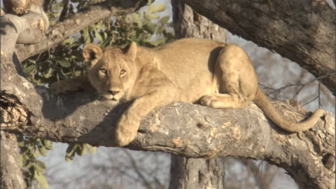 a juvenile lion rests on a tree branch. - branch stock videos & royalty-free footage