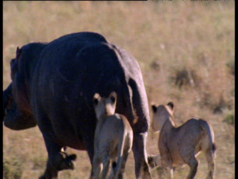 Juvenile Lions attack rear of hippo as it walks across the savanna