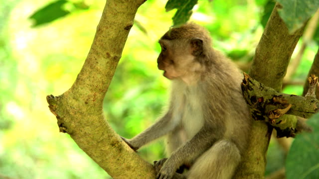 juvenile macaque primate in hindu nature reserve bali - macaque stock videos and b-roll footage