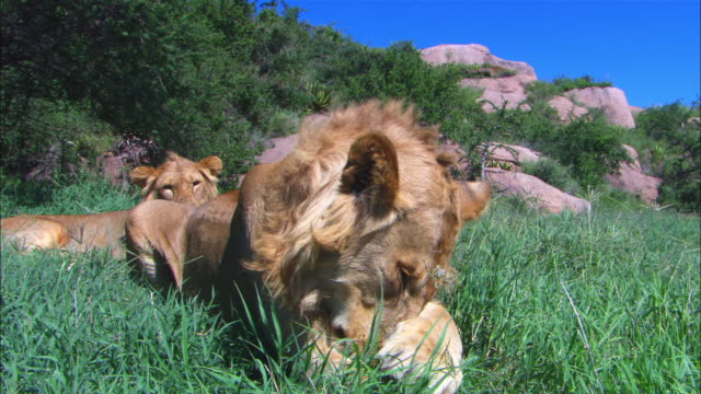 LA MS juvenile male African lion grooms its paw with second lion in background