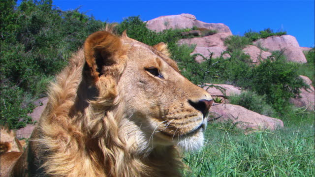 vidéos et rushes de ecu juvenile male african lion looks intently out of frame right zo to cu - solitude