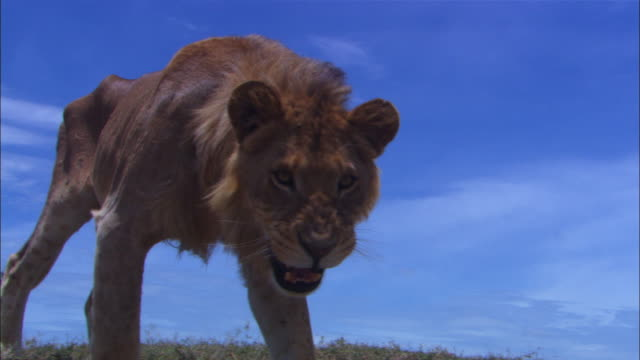 LA juvenile male African lion walks over ridge and right up to camera and snarls into lens