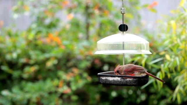 Juvenile männlichen Cardinal