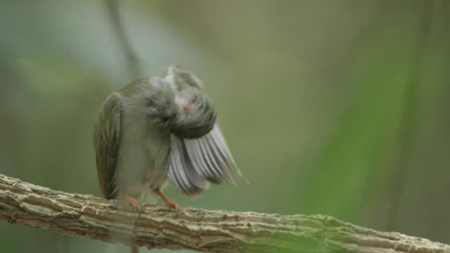 "stockvideo's en b-roll-footage met juvenile male long tailed manakin (chiroxiphia linearis) preens in forest, costa rica - ""bbc natural history"""