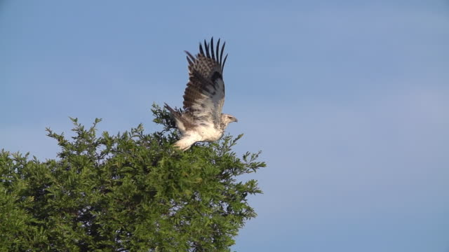 WS SLO MO TS PAN Juvenile Martial Eagle taking off and flying / Kruger National Park, Mpumalanga, South Africa