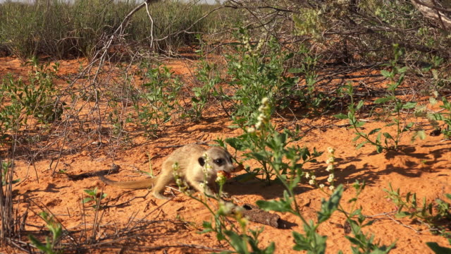 vídeos y material grabado en eventos de stock de juvenile meerkat eats large insect larva - hurgar en la basura