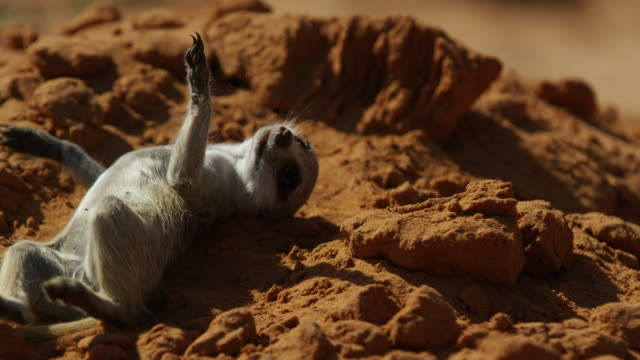 juvenile meerkat rolls around comically in sand - young animal stock videos & royalty-free footage