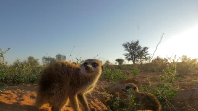 vidéos et rushes de juvenile meerkats around burrow very close to camera in evening light - groupe moyen d'animaux