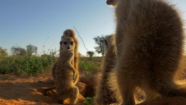 juvenile meerkats around burrow very close to camera in evening light - kleine gruppe von tieren stock-videos und b-roll-filmmaterial