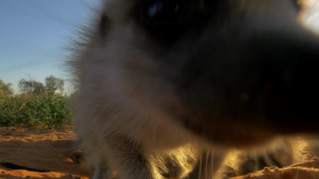 juvenile meerkats around burrow with 1 looking into lens in evening light - medium group of animals stock videos & royalty-free footage