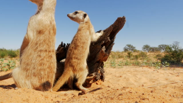 juvenile meerkats look nervously around very close to camera - vier tiere stock-videos und b-roll-filmmaterial