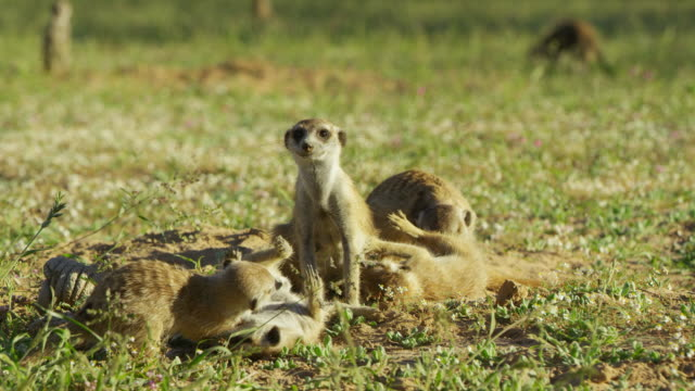 juvenile meerkats roll around with adult female then run off - medium group of animals stock videos & royalty-free footage