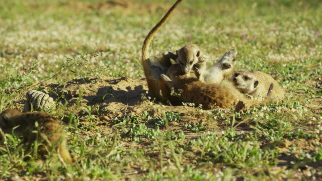 juvenile meerkats roll around with adult female - medium group of animals stock videos & royalty-free footage
