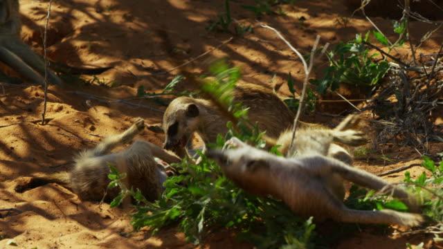 vídeos y material grabado en eventos de stock de juvenile meerkats scent mark bush and play fight - grupo mediano de animales