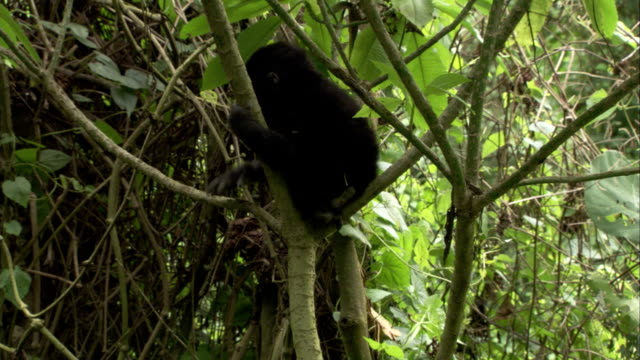 a juvenile mountain gorilla climbs a sapling. available in hd. - 絶滅の恐れのある種点の映像素材/bロール