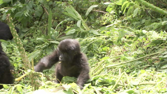 A juvenile mountain gorilla plays with a sapling as adults watch. Available in HD.