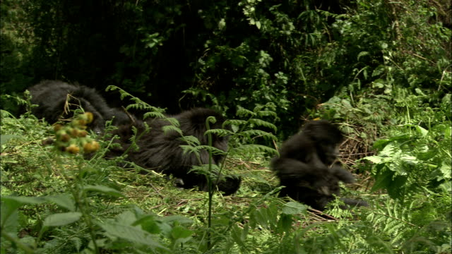 stockvideo's en b-roll-footage met juvenile mountain gorillas move as their mother gets up. - vrouwtjesdier