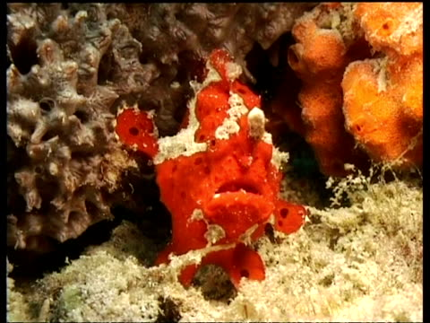 cu juvenile painted frogfish, on reef, front view, display, mabul, borneo, malaysia - ugliness stock videos & royalty-free footage