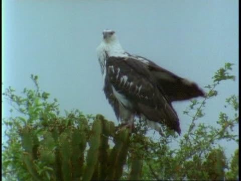 ms juvenile palm nut vulture, gypohierax angolensis, sitting on tree, preening, uganda, africa - preening stock videos & royalty-free footage