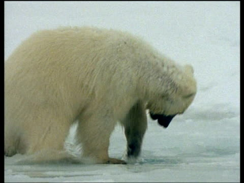 Juvenile Polar Bear puts head into hole in ice then falls in, Svalbard