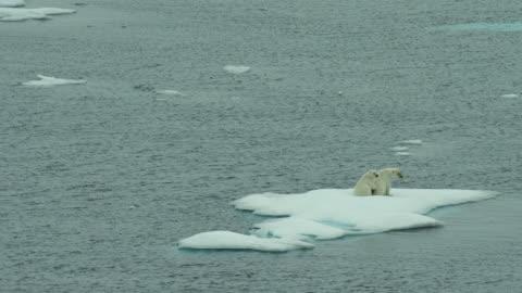 vídeos de stock e filmes b-roll de juvenile polar bear with mother on ice floe - ártico