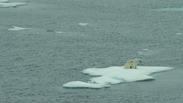 juvenile polar bear with mother on ice floe - clima polare video stock e b–roll
