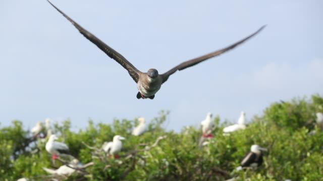 vídeos y material grabado en eventos de stock de juvenile red-footed booby (sula sula) flying towards camera at eye level in slow motion - alcatraz patirrojo